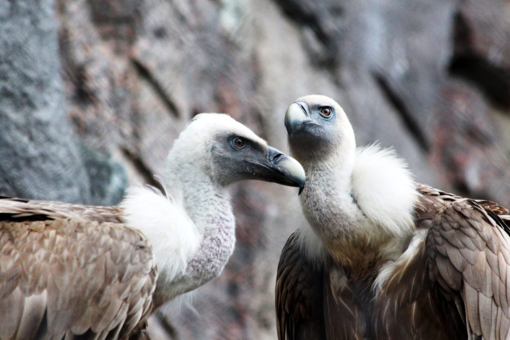 Griffon vulture in the Uvac canyon, Serbia