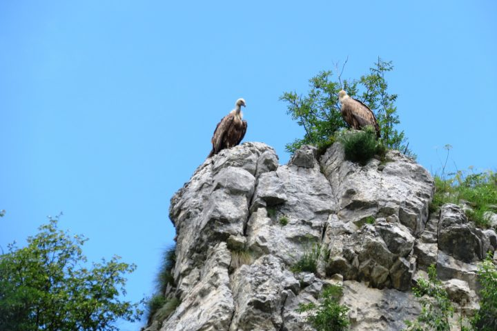 a pair of griffon vultures on the wall, the Uvca canyon