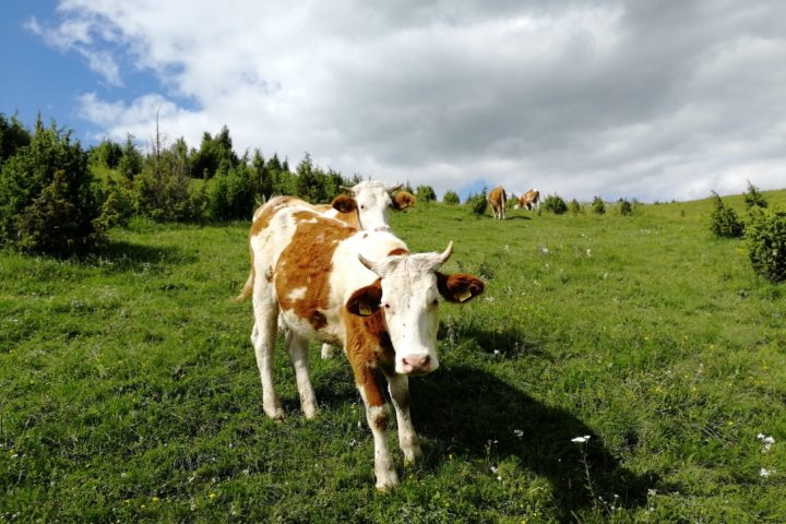 cows on Pešter Uvac
