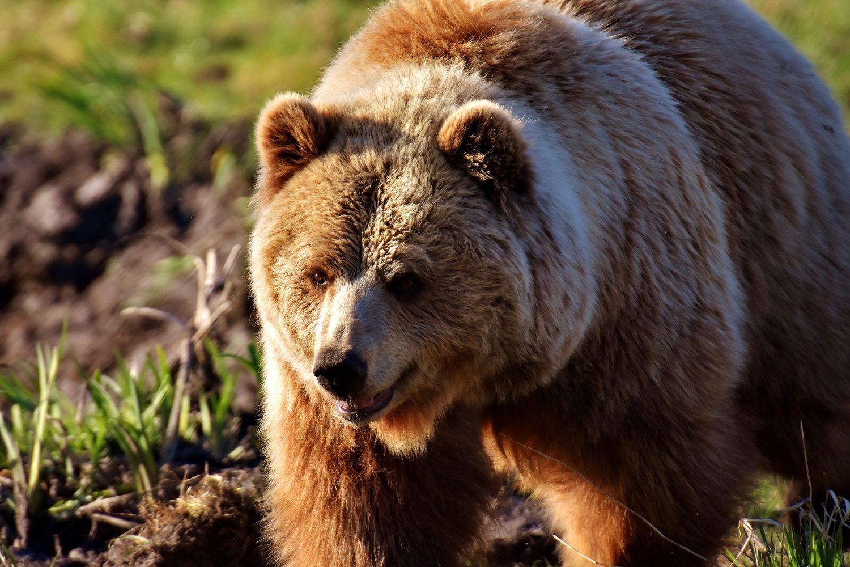 posmatranje medveda - Šta raditi u Nacionalnom parku Tara?