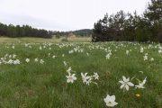 Divčibare polje belog narcisa