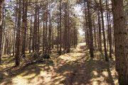 Divčibare šuma smrče